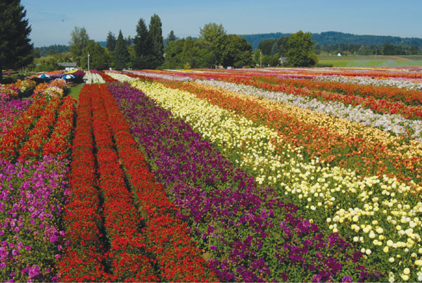 Colorful rows of dahlias grow at Swan Island Dahlias. Photo by Swan Island Dahlias