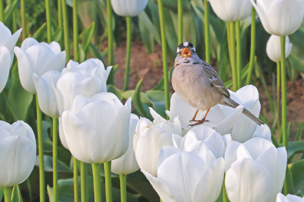 A bird rests on a tulip at Wooden Shoe Tulip Farm. Photo by Barb Iverson