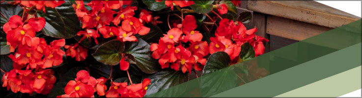 Begonia Whopper® Red. Photo courtesy of Ball Seed