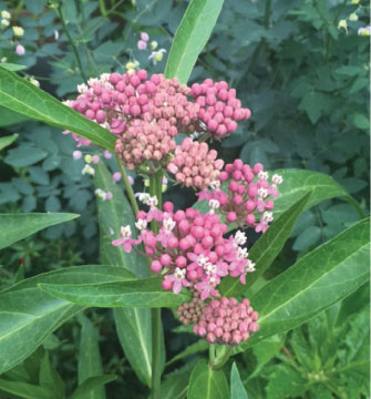 Asclepias incarnata.  Photo courtesy of Rich Baer
