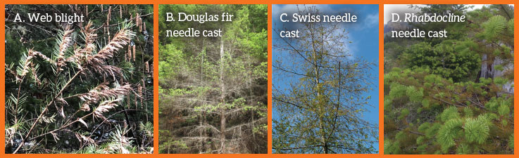 Figure 1. Tree level symptoms of (A) web blight, (B) Douglas fir needle cast, (C) Swiss needle cast, and (D) rhabdocline needle cast affecting Douglas fir trees. Photos courtesy of Oregon State University