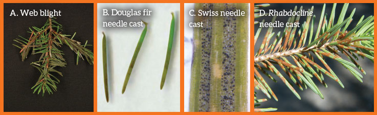 Figure 2. Signs and/or symptoms of (A) web blight, (B) Douglas fir needle cast, (C) Swiss needle cast, and (D) rhabdocline needle cast affecting Douglas fir needles. Photos courtesy of Oregon State University