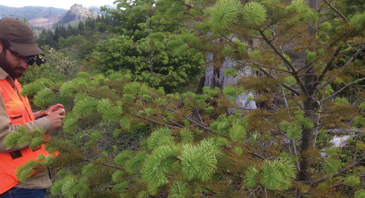 Emerging threats to conifer foliage