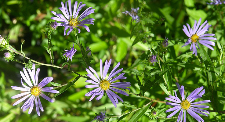 Photo 2. Symphyotrichum subspicatum, highly attractive to pollinators. Photo courtesy of Oregon State University
