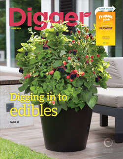 Baby Cakes® is a dwarf, thornless blackberry perfect for patio pots. Photo courtesy of Bushel and Berry™