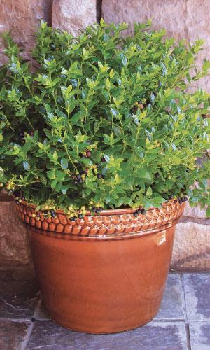 Blueberry Glaze® (Vaccinium × 'ZF08-095' USPP 25467) Photo courtesy of Bushel and Berry™