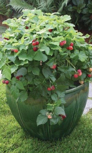 Bushel and Berry™ Raspberry Shortcake® Photo courtesy of Bushel and Berry™