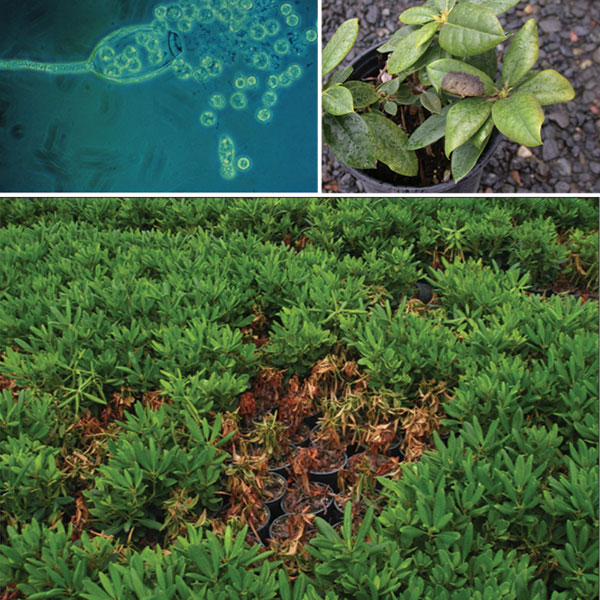 Fig. 1: Top left: Phytophthora sporangium releasing zoospores. photo courtesy of Fred Schwenk Top right: Foliar blight symptom on rhododendron plants. Bottom: Rhododendron root rot caused by Phytophthora. Photo courtesy of Oregon State University