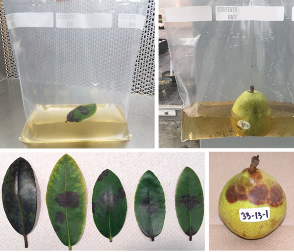 Fig. 2: Top left: Baiting of water with rhododendron leaves. Top right: Pear baits. Bottom: Brown lesions caused by Phytophthora species. Photo courtesy of Oregon State University