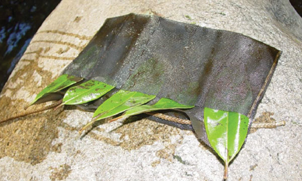 Fig. 3: Rhododendron leaves in a mesh bag showing lesions after baiting outdoors. Photo courtesy of Marianne Elliott