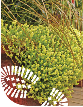 Sedum acre 'Aureum' makes a durable, low-to-the-ground ground cover, standing up to heat and drought. Photo courtesy of Skagit Gardens.