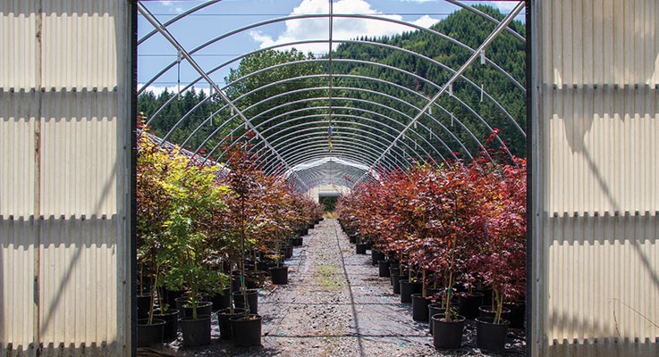 Grown under the cover of nearly 100 greenhouses, the quality of Kelleygreen Nursery's Japanese maple liners has kept their customer base happy for many years Photo by Curt Kipp