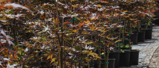Japanese maples are the primary focus of Kelleygreen Nursery, but they also offer a selection of containerized woody ornamentals. Photo by Curt Kipp
