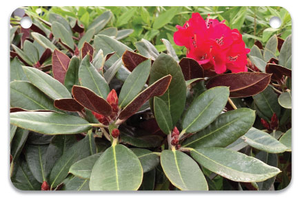 Rhododendron 'Cherries and Merlot' (previous page) is a nice, compact rhody with brilliant deep red color. Photo courtesy of egardengro