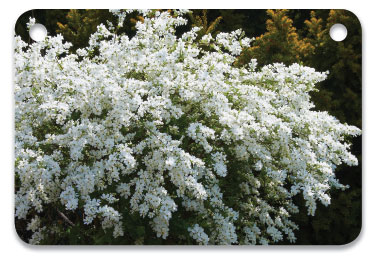 Exochorda × macrantha 'The Bride' is beautiful, deer-resistant, drought-tolerant and pest-free. Photo courtesy of Wikimedia