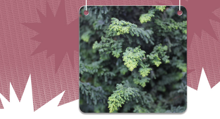 Chamaecyparis obtusa 'Habari' is an attention-grabber in the garden, worth adding for growers and worth planting for gardeners and landscapers. Photo courtesy of Youngblood Nursery