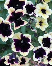 Petunia Headliner™ 'Dark Saturn'