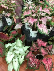 Caladium Heart to Heart™ Series