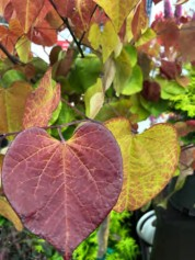 Cercis canadensis. 'Flame Thrower'®