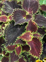 Solenostemon scutellarioides ColorBlaze® Wicked Witch™ Coleus