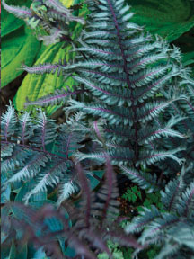 Japanese painted fern 'Crested Surf'.