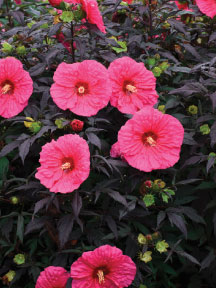 Summerific® 'Evening Rose' rose mallow
