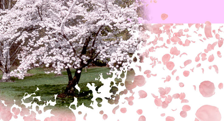 Flowering cherry trees then and now